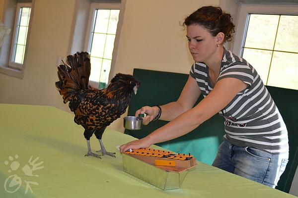 Hühnertraining