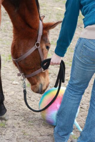 Pferd berührt Gymnastikball